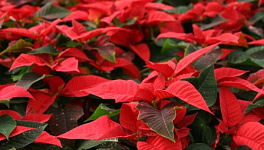 Poinsettia Monthly Plant Care
