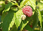 Bababerry Raspberry Monthly Plant Care