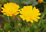 Pot Marigold Mohtly Plant Care