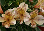 Alstroemeria Monthly Plant Care