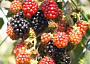 Blackberry Monthly Plant Care