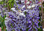 Wisteria Monthly Plant Care