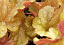 Heuchera Monthly Plant Care