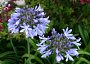 Agapanthus Monthly Plant Care