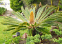 Sago Palm Plant Care