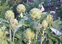 Artichoke Monthly Plant Care