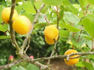 Apricot Monthly Plant Care