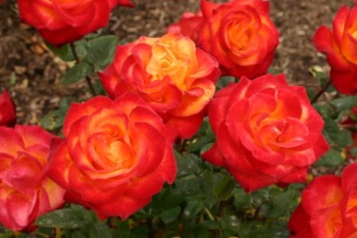 Organic Rose Monthly Plant Care