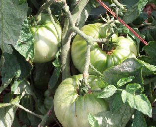 photo_-_bill_pioch_-_white_tomato_-_august_2008_100_7266.png